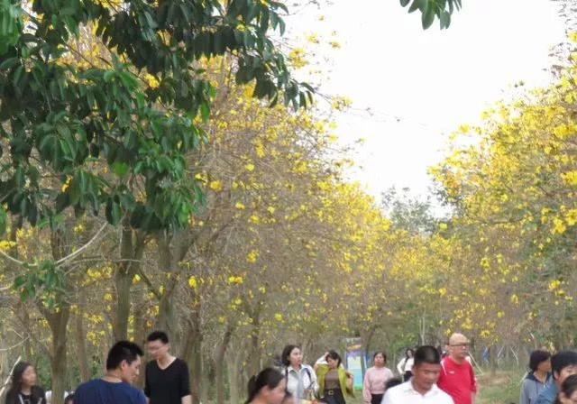 巴西国花在惠州绽放,美得不要不要的 阳光,铃木,巴西,国花,惠州 第61张图片