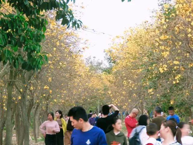 巴西国花在惠州绽放,美得不要不要的 阳光,铃木,巴西,国花,惠州 第62张图片