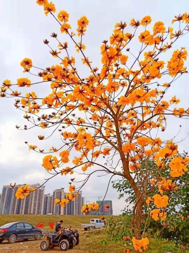 巴西国花在惠州绽放,美得不要不要的 阳光,铃木,巴西,国花,惠州 第64张图片