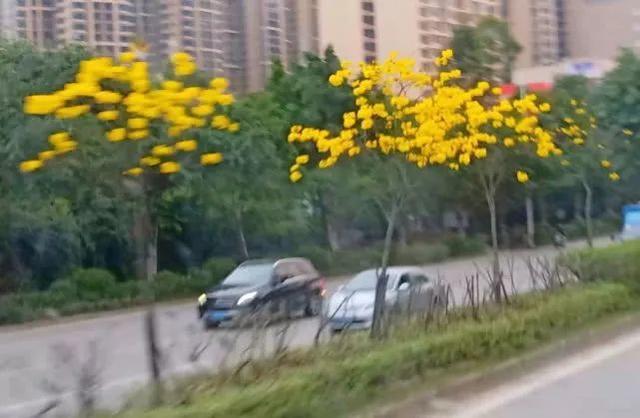 巴西国花在惠州绽放,美得不要不要的 阳光,铃木,巴西,国花,惠州 第65张图片