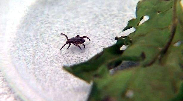 警惕!生活在大温春天小心这虫子,钻进肉里!被咬一口要命! ... 艾薇儿,莱姆病,移民春天来了,警惕,生活 第4张图片