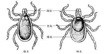 警惕!生活在大温春天小心这虫子,钻进肉里!被咬一口要命! ... 艾薇儿,莱姆病,移民春天来了,警惕,生活 第3张图片