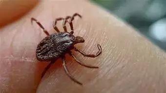 警惕!生活在大温春天小心这虫子,钻进肉里!被咬一口要命! ... 艾薇儿,莱姆病,移民春天来了,警惕,生活 第7张图片