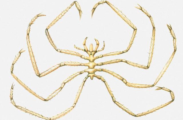 科学发现深海长腿生物,最长可达51厘米,并靠八个不成比例腿呼吸 ... 发现,蜘蛛,大长腿,科学,深海 第4张图片