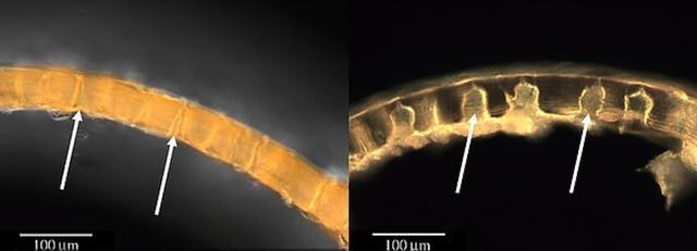 科学发现深海长腿生物,最长可达51厘米,并靠八个不成比例腿呼吸 ... 发现,蜘蛛,大长腿,科学,深海 第5张图片