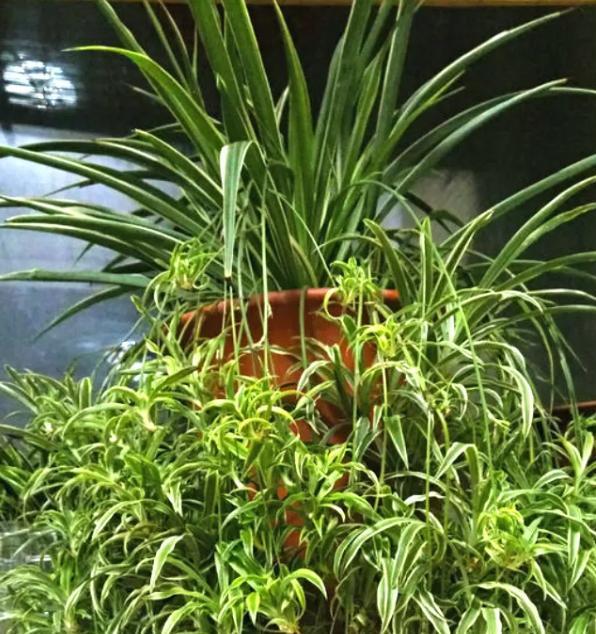 """还在用清水浇绿萝?别傻了,绿萝是个""""大酒鬼"""",一小勺就爆盆 ... 花花,营养肥,氮钾肥,还在,清水 第5张图片"""