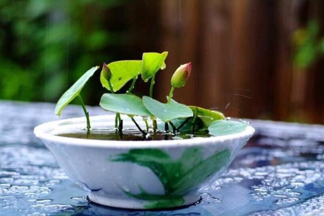 年年买碗莲,年年光长叶不开花,这还有救吗? 张开,花花,水生植物,年年,碗莲 第1张图片