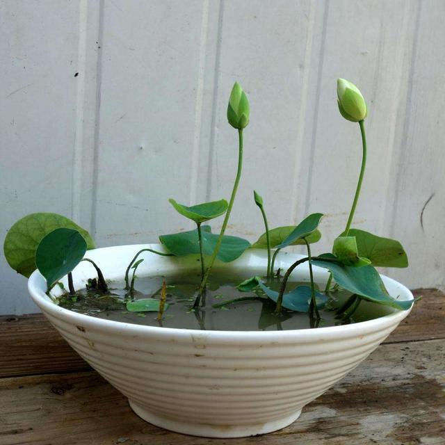 年年买碗莲,年年光长叶不开花,这还有救吗? 张开,花花,水生植物,年年,碗莲 第3张图片