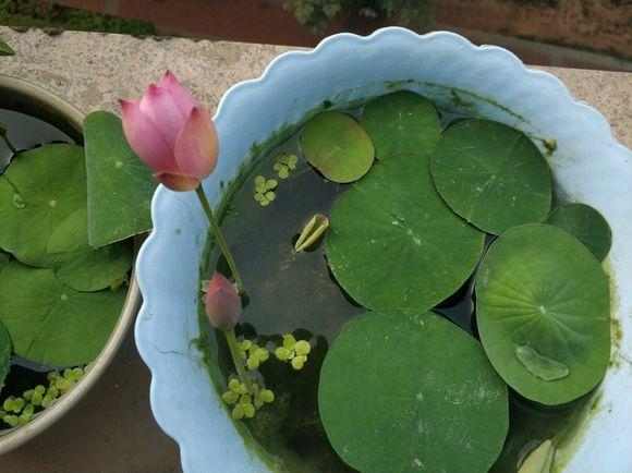 年年买碗莲,年年光长叶不开花,这还有救吗? 张开,花花,水生植物,年年,碗莲 第6张图片