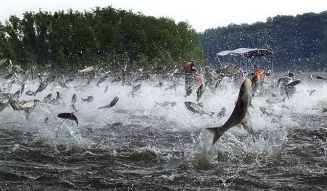 面对亚洲鲤鱼,美国人终于醒悟:不能打败它们,就吃掉它们 ... 面对,亚洲,亚洲鲤,亚洲鲤鱼,美国 第2张图片