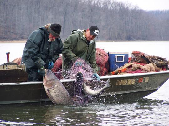 面对亚洲鲤鱼,美国人终于醒悟:不能打败它们,就吃掉它们 ... 面对,亚洲,亚洲鲤,亚洲鲤鱼,美国 第4张图片