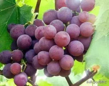 立秋后吃葡萄的,都看看,别说我没告诉你 秋后,吃葡萄,葡萄,看看,别说 第2张图片
