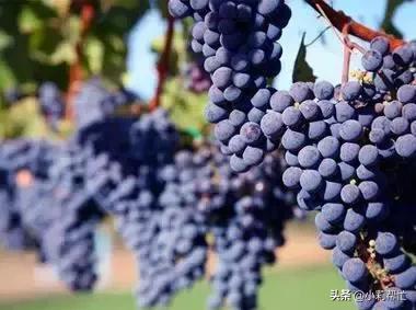 立秋后吃葡萄的,都看看,别说我没告诉你 秋后,吃葡萄,葡萄,看看,别说 第1张图片