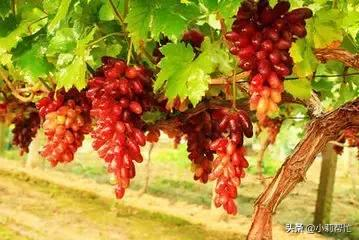 立秋后吃葡萄的,都看看,别说我没告诉你 秋后,吃葡萄,葡萄,看看,别说 第3张图片