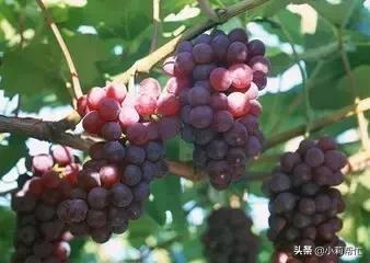 立秋后吃葡萄的,都看看,别说我没告诉你 秋后,吃葡萄,葡萄,看看,别说 第4张图片