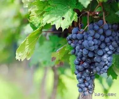 立秋后吃葡萄的,都看看,别说我没告诉你 秋后,吃葡萄,葡萄,看看,别说 第5张图片