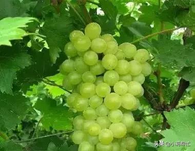 立秋后吃葡萄的,都看看,别说我没告诉你 秋后,吃葡萄,葡萄,看看,别说 第6张图片