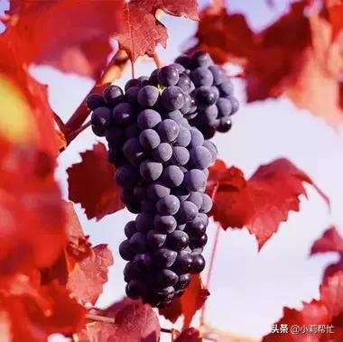 立秋后吃葡萄的,都看看,别说我没告诉你 秋后,吃葡萄,葡萄,看看,别说 第7张图片
