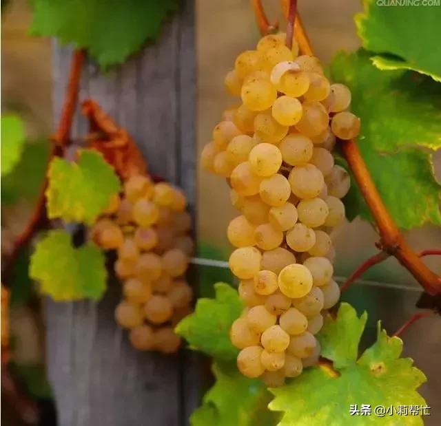 立秋后吃葡萄的,都看看,别说我没告诉你 秋后,吃葡萄,葡萄,看看,别说 第8张图片