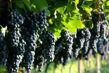 立秋后吃葡萄的,都看看,别说我没告诉你 秋后,吃葡萄,葡萄,看看,别说 第9张图片