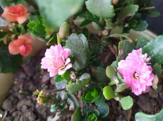 立春养花别大意,这些花千万别搬出去,不然还得冻伤 沙漠玫瑰,好不容易,方其实,有可能,长寿花 第1张图片