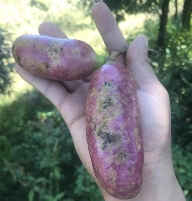 临翔南美大山里的美味野果,扎不住的诱惑 郁郁葱葱,山清水秀,生态系统,漫山遍野,错落有致 第5张图片