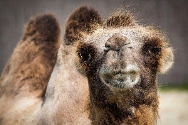 吃骆驼肉成为澳大利亚新潮水?阿德莱德农场已经起头转行养骆驼了 第1张图片