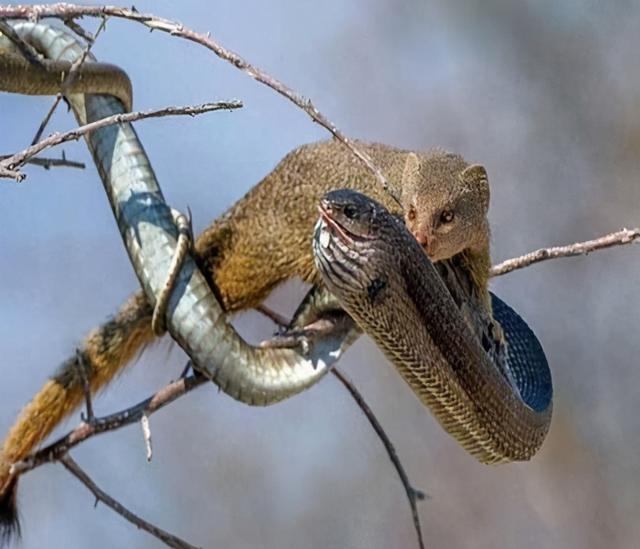 毒蛇真的可怕吗?不仅被猫揍,连老鼠也能欺负它,青蛙还能捕它