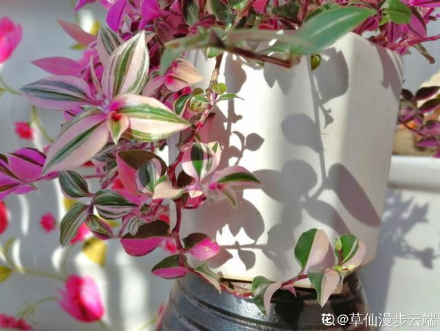 5种小众花,家里养一盆,屋里立马气量变高级 第5张图片
