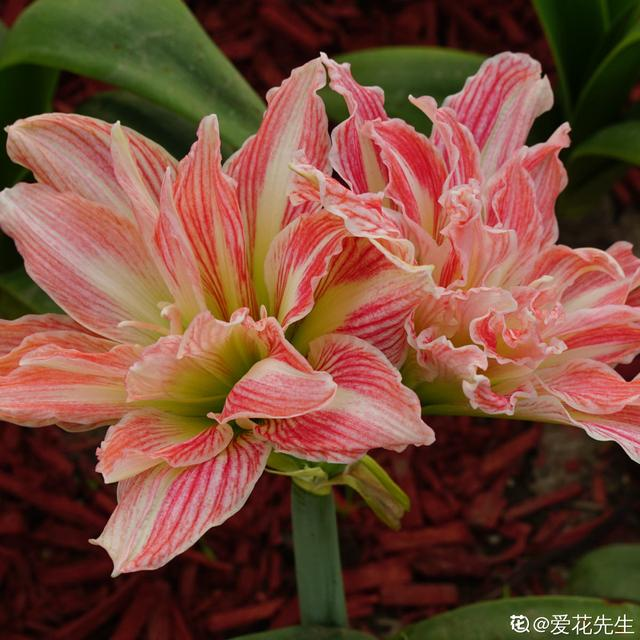 秋冬季缺不了的9莳花,南北方都能养,现在预备不算迟 第7张图片